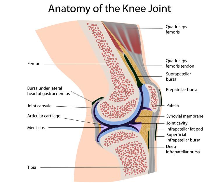 Articulatio genus / Kniegelenk – Anatomie und Aufbau des ...