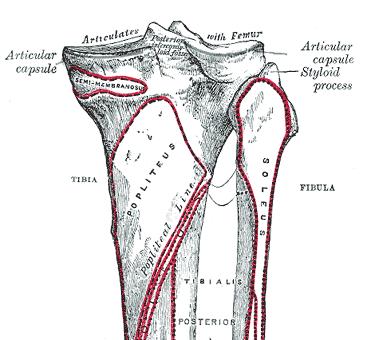 Caput fibulae / Wadenbeinkopf – Anatomie und Aufbau   Med-Library.com