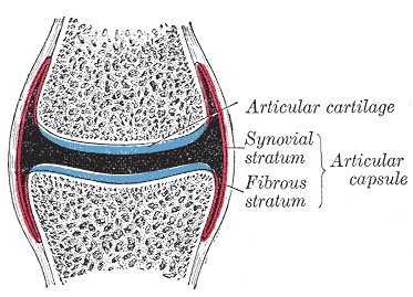 Gray299_articular capsule