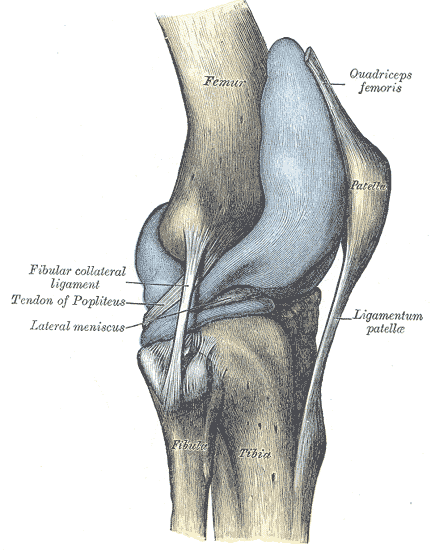 Ligamentum collaterale tibiale (bzw. mediale) / Innenband des Knies ...