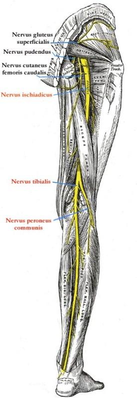 Nerven im Knie – Anatomie der Nerven im Kniegelenk | Med-Library.com