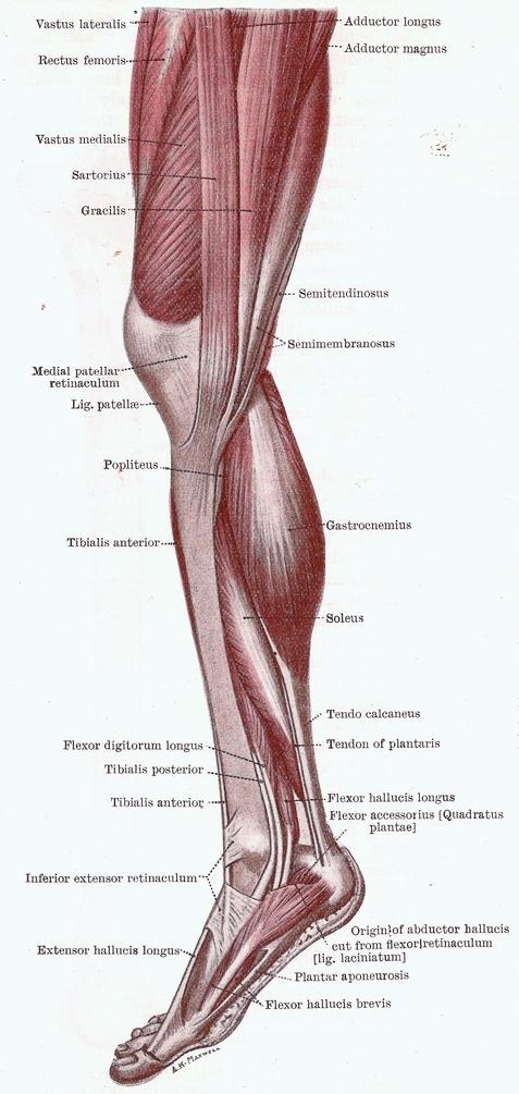 Streckmuskulatur Knie – Anatomie und Aufbau | Med-Library.com